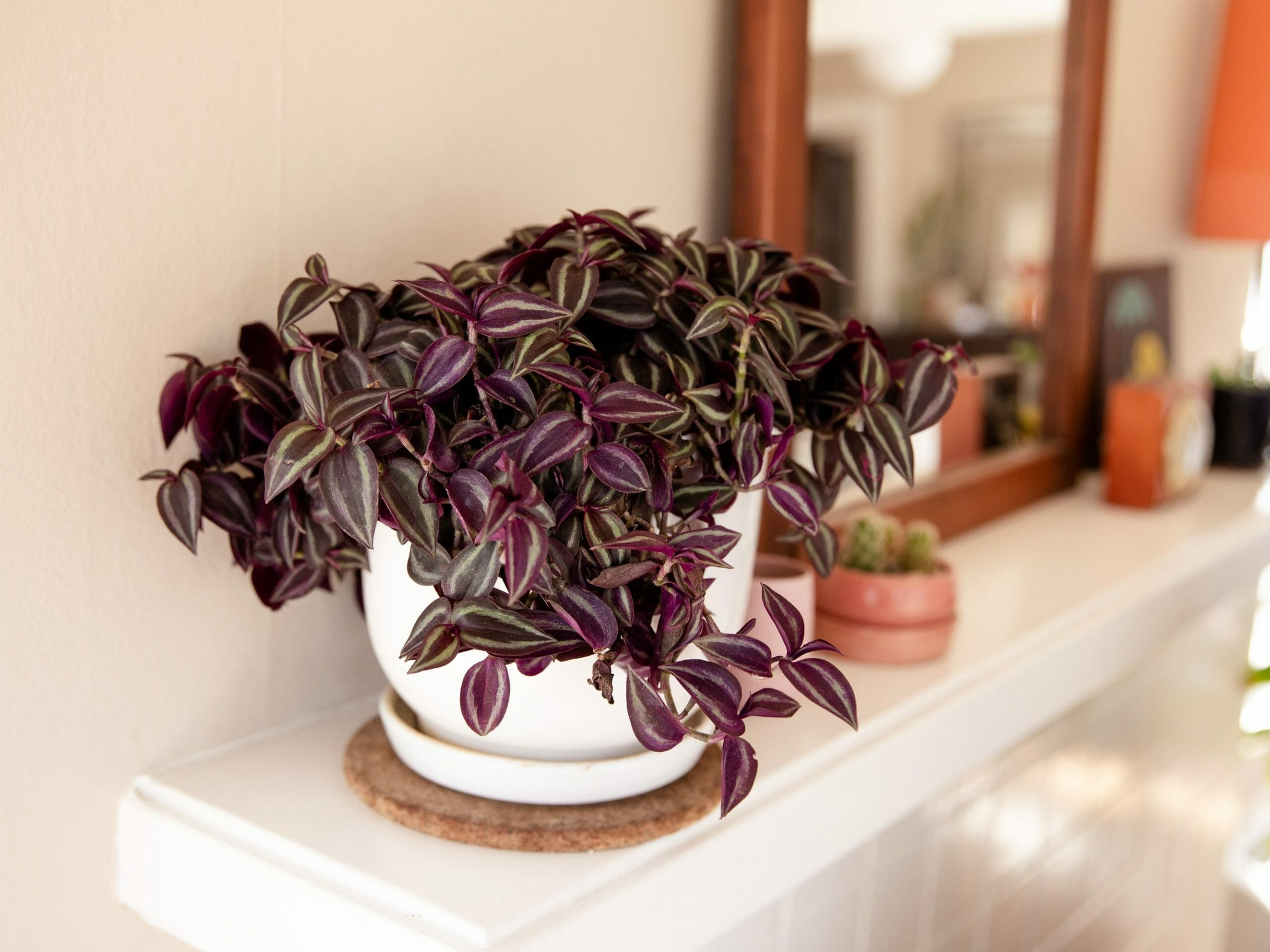 is wandering jew poisonous to cats