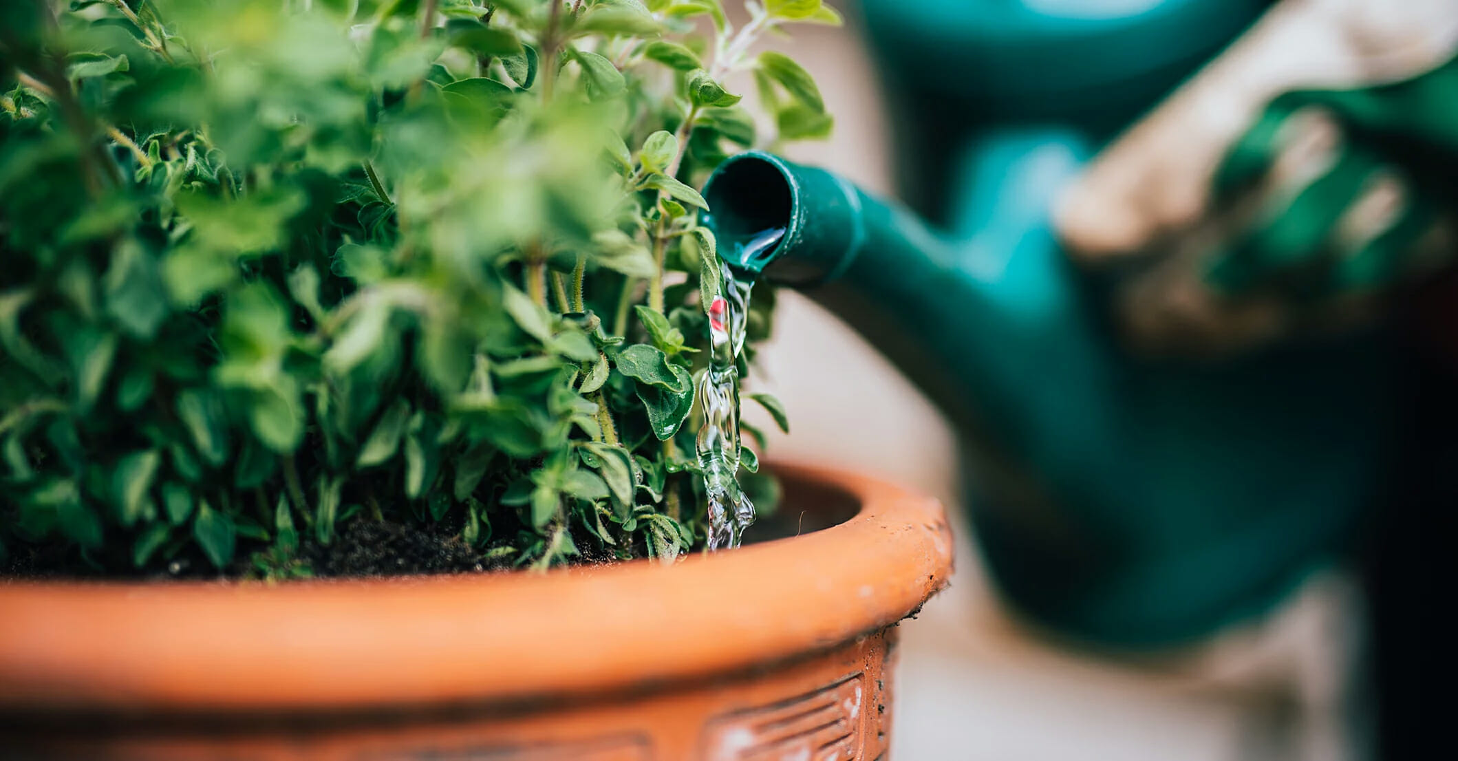 how long does a plant take to recover from overwatering