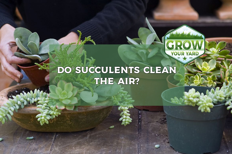 do succulents clean the air