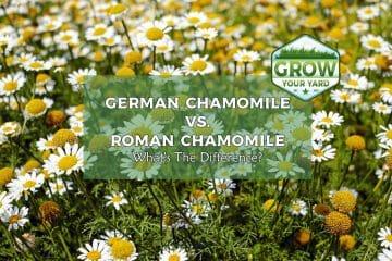 german chamomile vs roman chamomile