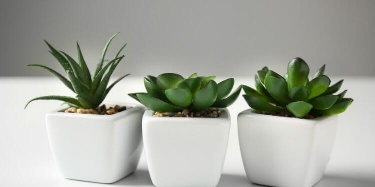 grow succulents in pots