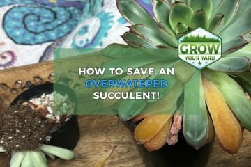 how to save an overwatered succulent