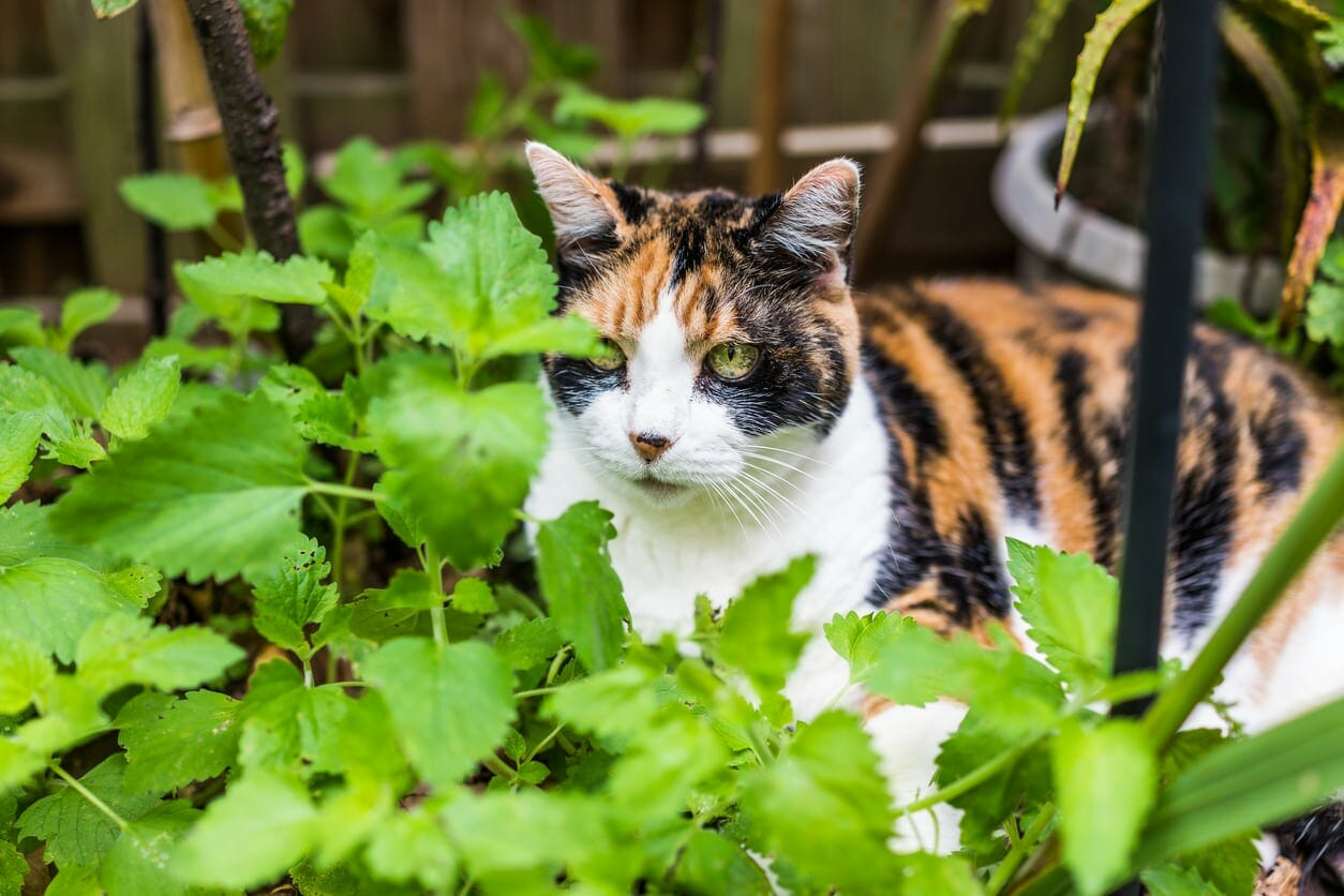 is peppermint plant safe for cats