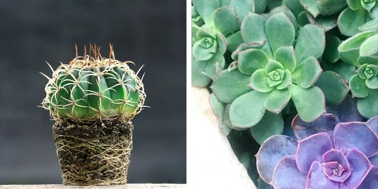 whats the difference between cactus and succulents