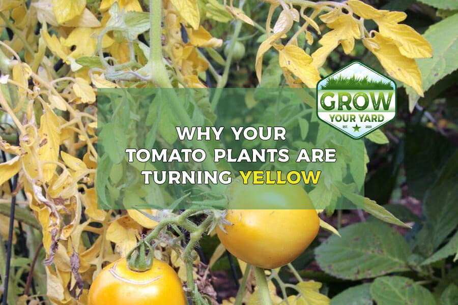 why are my tomato plants turning yellow