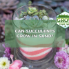 can succulents grow in sand
