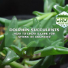 dolphin succulents