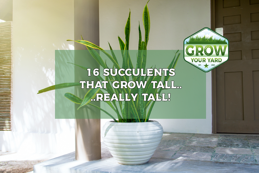 succulents that grow tall