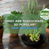 why are succulents so popular