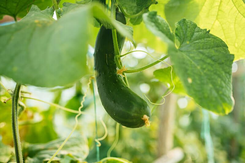 cucumber in direct sun