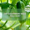 do cucumbers need full sun