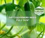 Do Cucumbers Need Full Sun? [Learn The Growing Sweetspot]