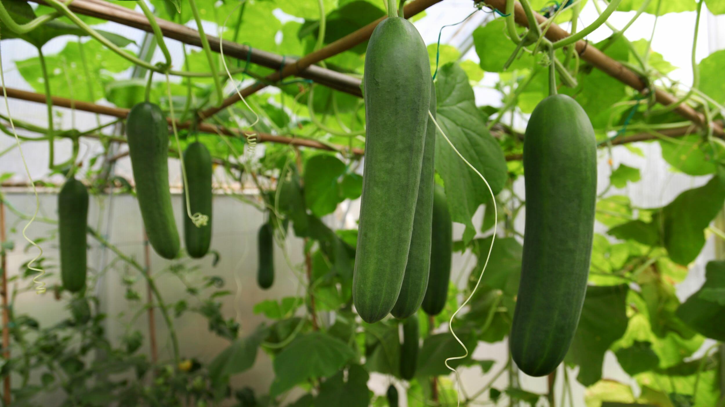 growing cucumbers in the sun