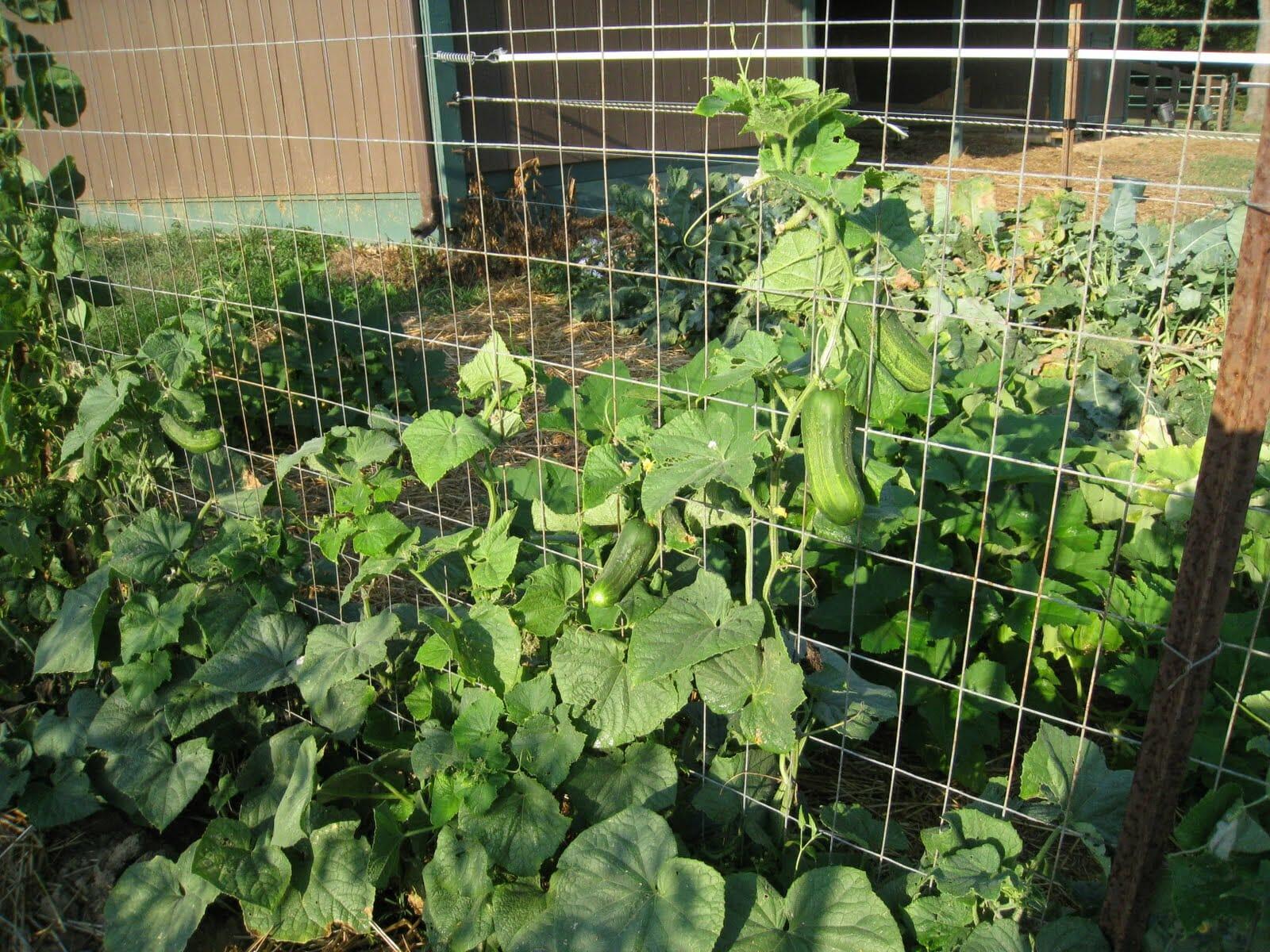 growing cucumbers trellis