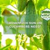 how much sun do cucumbers need