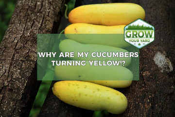 why are my cucumbers yellow
