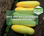Why Are My Cucumbers Yellow? [The 4 Likely Causes]