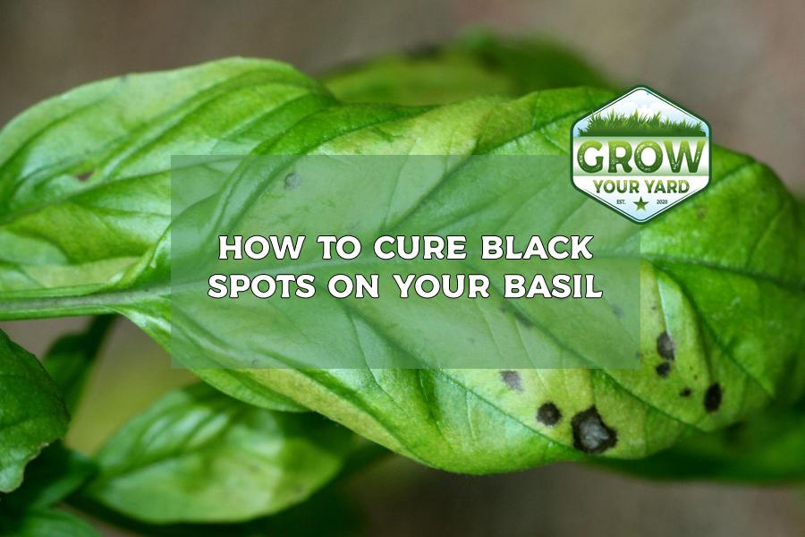 black spots on basil leaves