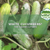 why are my cucumbers white