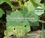 Why Are There Yellow Spots on Cucumber Leaves?