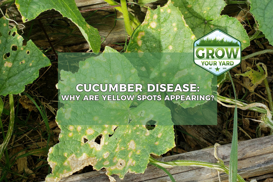 why are there yellow spots on cucumber leaves